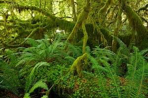 Ferns and moss-covered trees in the Hoh Rainforest, Olympic National Park, Washington, USA - Brandon Cole