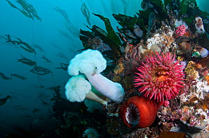 Fish eating sea anemones (Urticina piscivora) and Giant Plumose Sea Anemones (Metridium farcimen) with Bull Kelp (Nereocystis luetkeana) behind, streaming in a gentle current. Washington, USA, Pacific...  -  Brandon Cole