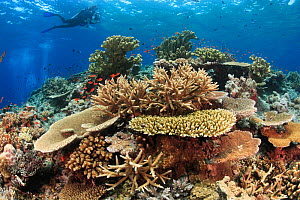 Scuba diver (model relelased) soars overtop healthy coral reef with impressive hard coral coverage, Fiji, tropical Pacific Ocean, 2008  -  Brandon Cole