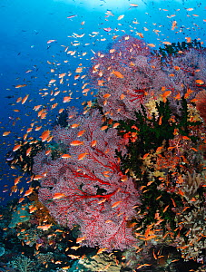 Colourful coral reef covered with gorgonian sea fans (Melithaea sp.), branching cup corals (Tubastraea micrantha) and Scalefin anthias (Pseudanthias squammipinnis) fish feeding in the current. Fiji, t... - Brandon Cole