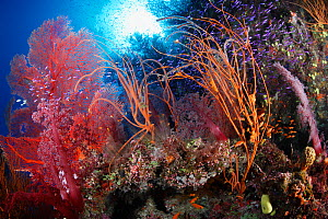 Soft corals (Dendronephthya sp.), gorgonian sea fans (Subergorgia mollis), sea whips, and purple anthias fish (Pseudanthias spp.). Fiji, tropical Pacific Ocean.  -  Brandon Cole