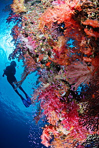 Scuba diver (model released) above healthy coral reef, on which multi-hued soft corals (Dendronephthya sp), gorgonian sea fans (Melithaea sp), and different species of anthias fish (Pseudanthias spp)... - Brandon Cole