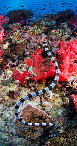 Banded sea krait / Colubrine sea snake (Laticauda colubrina) above coral reef, Fiji, tropical Pacific Ocean.  -  Brandon Cole