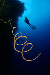 Spiral Wire coral (Stichopathes sp.) extends out from reef wall, 100ft deep, with scuba diver in background, Fiji, tropical Pacific Ocean. - Brandon Cole