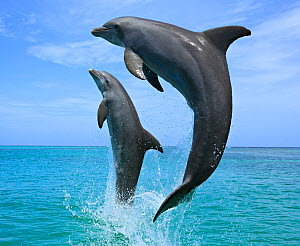 Bottlenose Dolphins (Tursiops truncatus) leaping above surface Honduras, Caribbean Sea. . - Brandon Cole