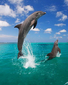 Bottlenosed dolphins (Tursiops truncatus) leaping above surface Honduras, Caribbean Sea. - Brandon Cole