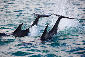 Bottlenosed dolphins (Tursiops truncatus) tail-slapping. Honduras, Caribbean Sea. - Brandon Cole