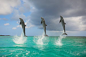 Bottlenosed dolphins (Tursiops truncatus) three jumping in perfect synchrony, Honduras, Caribbean Sea. - Brandon Cole