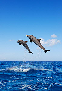 Bottlenosed dolphins (Tursiops truncatus) two leaping above surface, Honduras, Caribbean Sea.  -  Brandon Cole