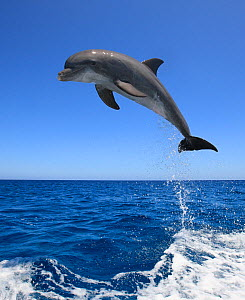 Bottlenosed dolphin (Tursiops truncatus) leaping above surface, Honduras, Caribbean Sea. - Brandon Cole