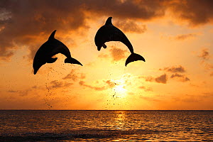 Bottlenosed dolphins (Tursiops truncatus) two leaping above surface at sunset, Honduras, Caribbean Sea. - Brandon Cole