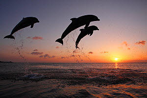 Bottlenosed dolphins (Tursiops truncatus) three leaping above surface at sunset, Honduras, Caribbean Sea. - Brandon Cole