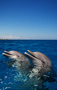 Bottlenose Dolphins (Tursiops truncatus). Honduras, Caribbean Sea.  -  Brandon Cole