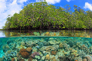 Split-level view of coral reef and mangroves, both important marine habitats. Indonesia, tropical Indo-Pacific Oceans. - Brandon Cole