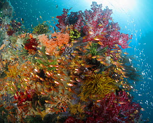 Pygmy / Golden sweepers (Parapriacanthus ransonneti) in front of reef covered with crinoids (feather stars), soft corals, sponges and other invertebrates. Indonesia, tropical Indo-Pacific oceans - Brandon Cole