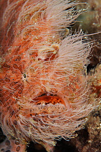 Striped / Hairy Frogfish (Antennarius striatus) Indonesia, tropical Indo-Pacific Oceans. - Brandon Cole