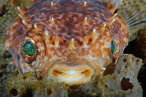 Orbicular Burrfish (Cyclichthys orbicularis) close up of face, Indonesia, tropical Indo-Pacific Oceans.  -  Brandon Cole