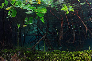 Magnrove trees (Rhizophora sp.) form a submerged forest, a tangle of roots and shoots and leaves which provide critical habitat for fish, invertebrates, and even a Colubrine Sea Snake (Laticauda colub...  -  Brandon Cole