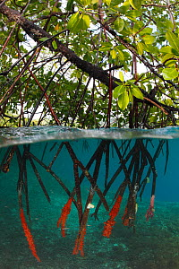 Split-level view showing how the roots of mangrove trees (Rhizophora sp.) reach down into the sea. Indonesia, tropical Indo-Pacific Oceans.  -  Brandon Cole
