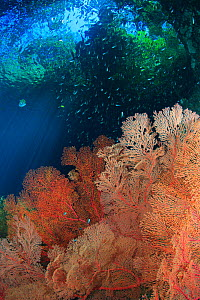 Surreal view of the jungle above gorgonian sea fans (Melithaea sp.) in a shallow current-swept passage. Indonesia, tropical Indo-Pacific Ocean.  -  Brandon Cole
