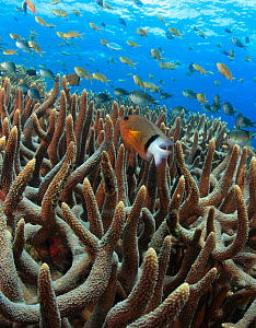 Blackbar Damselfish (Plectroglyphidodon dickii) in foreground, and anthias (also called fairy basslets) and other damselfish species in background, stream above branching hard coral (Acropora sp.) in... - Brandon Cole