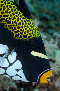 Clown triggerfish (Balistoides conspicillum) face profile, Indonesia, tropical Indo-Pacific Oceans.  -  Brandon Cole