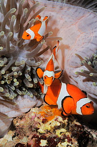 Saddleback anemonefish (Amphiprion polymnus), guarding and caring for eggs - note the orange cluster at anemone's base. Indonesia, tropical Pacific Ocean. - Brandon Cole