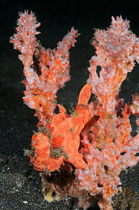 Painted frogfish (Antennarius pictus), well camouflaged against sponge. Indonesia, tropical Indo-Pacific Oceans.  -  Brandon Cole