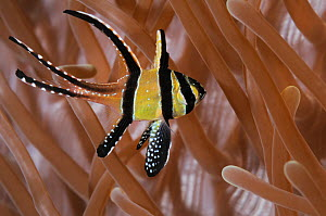 Banggai cardinalfish (Pterapogon kauderni), juvenile, shelters amidst tentacles of sea anemone. Indonesia, tropical Indo-Pacific Ocean.  -  Brandon Cole