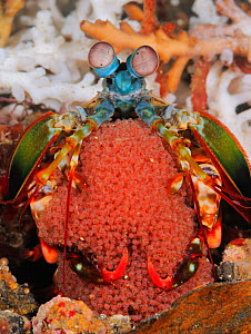 Peacock Mantis shrimp (Gonodactylaceus mutatus)  brooding eggs. Indonesia, tropical Indo-Pacific Oceans. - Brandon Cole
