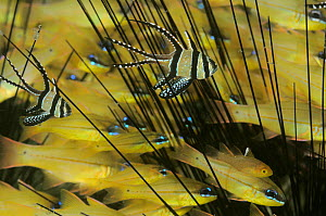 Banggai Cardinalfish (Pterapogon kauderni) two juveniles shelter amidst spines of sea urchin, many Spotgill Cardinalfish (Apogon chrysopomus) behind. Indonesia, tropical Indo-Pacific Ocean.  -  Brandon Cole