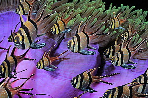 Banggai Cardinalfish (Pterapogon kauderni) in front of Magnificent Sea Anemone (Heteractis magnifica). Indonesia, tropical Indo-Pacific Ocean.  -  Brandon Cole