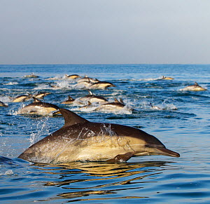 Long beaked Common dolphins (Delphinus capensis) pod surfacing, California, USA, Pacific Ocean  -  Brandon Cole