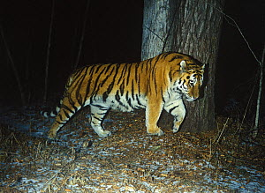 Camera trap image of wild male Siberian tiger (Panthera tigris altaica) scent marking the trunk of a cedar (Cedrus) tree, Lazovsky Zapovednik Nature Reserve, Primorsky Krai, Far East Russia, December...  -  Vladimir Medvedev