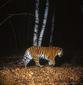 Camera trap image of wild Siberian tiger (Panthera tigris altaica) walking through woodland, Lazovsky Zapovednik Nature Reserve, Primorsky Krai, Far East Russia, November 1994  -  Vladimir Medvedev