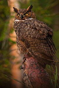 Great Horned Owl (Bubo virginianus) juvenile perched on owl model, Wisconsin, USA  -  Larry Michael