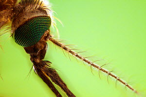 Mosquito (Culex pipiens) carrier of the West Nile Virus close-up  -  Phil Savoie