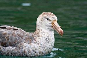 Northern Giant Petrel swimming (Macronectes halli) South Georgia, Antarctic. February.  -  Konrad Wothe