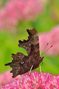 Comma butterfly (Polygonia c-album) feeding on flower of Ice plant (Sedum)  in garden, Hertfordshire, UK, September  -  Andy Sands