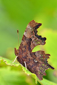 Comma butterfly (Polygonia c-album) at rest with wings closed on Hazel leaf showing comma shaped pheromone gland, Hertfordshire, UK, September - Andy Sands