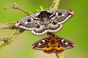 Small emperor moth (Saturnia pavonia) male (bottom)  and female with wings open showing eyespots on lichen covered twig, Captive, UK, April - Andy Sands