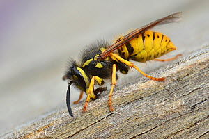 German wasp (Vespula germanica) collecting wood to make pulp for nest building, Hertfordshire, England, UK, August  -  Andy Sands