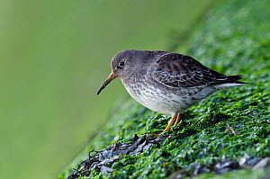 Purple Sandpiper (Calidris maritima) perched on harbour wall, Kent, England, UK, February - Andy Sands