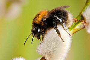 Tree Bumblebee (Bombus hypnorum) foraging on catkins of Sallow, Hertfordshire, England, UK, March - Andy Sands