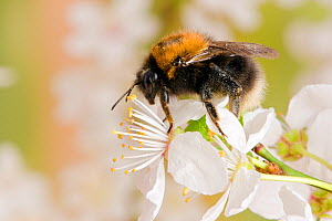 Tree Bumblebee (Bombus hypnorum) feeding on nectar from Blackthorn (Prunus spinosa) blossom, Hertfordshire, England, UK, March - Andy Sands