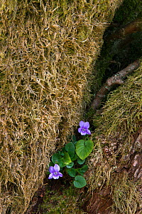 Common violet (Viola riviniana) growing at the base of a tree, Northumberland, UK, April  -  Ann & Steve Toon