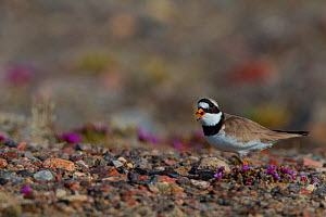 Semipalmated plover (Charadrius semipalmatus) calling to lead predators away from nest, Grise Fiord, Ellesmere Island, Nunavut, Canadian Arctic, March  -  Todd Mintz