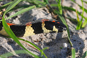 Spotted Harlequin Snake (Aspidelaps / Homoroselaps lacteus) DeHoop Nature reserve. Western Cape, South Africa  -  Tony Phelps