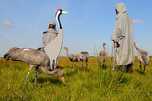 Group of recently released young Common / Eurasian cranes (Grus grus) feeding on grain scattered around adult crane models alongside a carer wearing a crane costume acting as a surrogate parent, Somer...  -  Nick Upton / 2020VISION