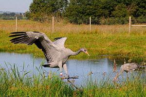 Recently released young Common / Eurasian crane (Grus grus) with identifying colour rings and radio transmitter on its legs returning to a roost pool within a fox-proof initial release enclosure, Some...  -  Nick Upton / 2020VISION